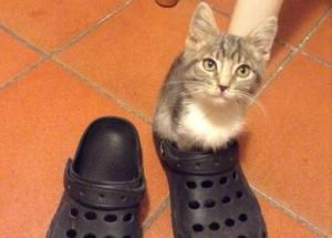 Kitten sitting in a croc shoe
